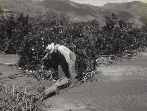 Citrus orchard damaged by deposition of two feet of sand and silt during Southern California flood of March 2, 1938.