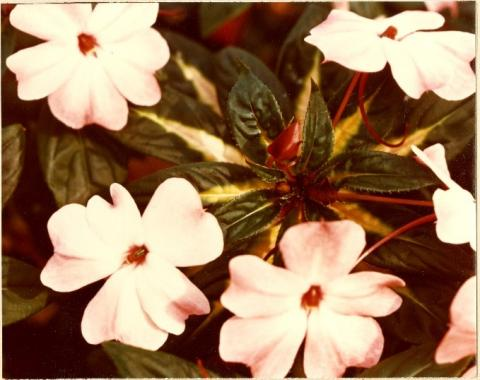 New Guinea Impatiens hybrid cv. Juggler, introduced by Longwood Gardens' plant geneticist Robert J. Armstrong in February 1977