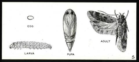 Life stages of pink bollworm, undated illustration.