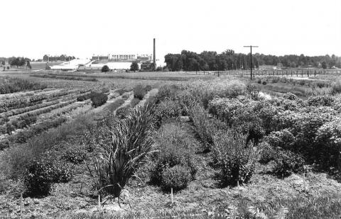 Drug, condiment, and essential oil plants trial garden. Beltsville, Maryland, 1942.